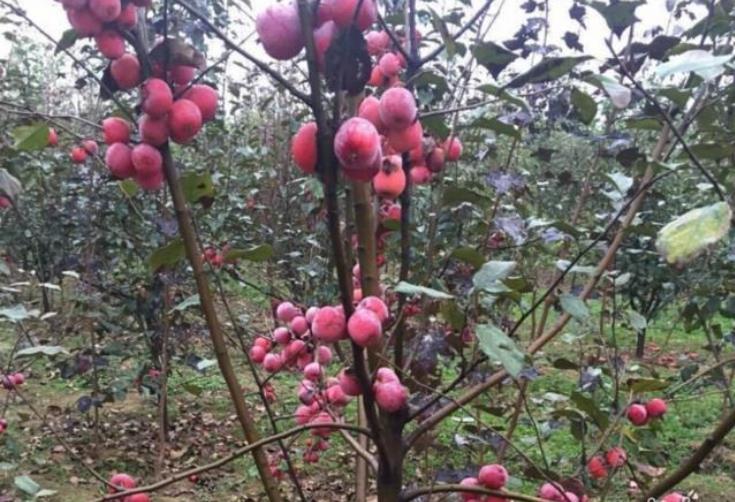 北京果树苗木基地常年批发零售各种果树苗木