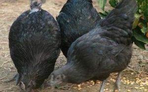 四川绿壳蛋鸡苗供应,带给超值服务,塑造忠诚用户