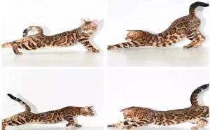 四平哪里有卖孟加拉豹猫的 毛色靓丽