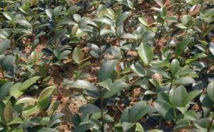 江西丰城市油茶苗种植批发,稳产稳收利润大