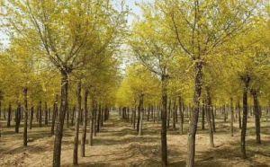保定莲池区五叶地锦培育,品种齐全,保证质量