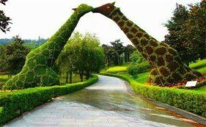 孔雀开屏五色草种植-五色草孔雀开屏造型-绿雕修复质量好零售价格