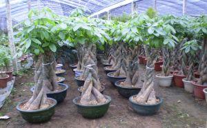 南宁发财树租赁,发财树习性特点与养殖方法